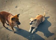 Бездомные собаки на пляже Стоковые Фото
