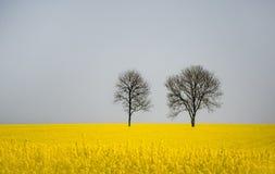 2 безлистных дерева в поле рапса Стоковое Фото