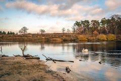 Безмолвный лебедь плавает грациозно в озере окруженном деревьями в autu стоковые фотографии rf