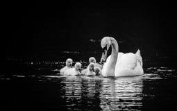 Безмолвный лебедь с 5 молодыми лебедями на солнечный весенний день в спокойной воде, черно-белой стоковое фото rf