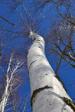 Дерево березы Стоковое Изображение