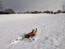Безрассудная собака Стоковые Фото