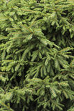 Безшовная зеленая изгородь в парке Стоковая Фотография RF