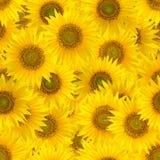 Безшовная картина с большими яркими солнцецветами Стоковое фото RF