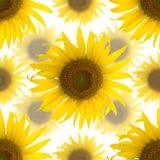 Безшовная предпосылка красивейших солнцецветов Стоковая Фотография