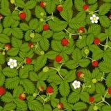 Безшовная текстура вектора луга клубники с ягодами листьев, цветков, зрелых и зеленых клубники Стоковое Изображение