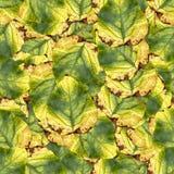 Безшовная текстура картины предпосылки огромных листьев тополя Стоковые Фотографии RF