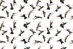 Безшовное изображение сфотографированных колибри летая Стоковое Изображение