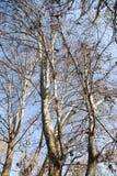 Безлистные ветви дерева против голубого неба Стоковые Фотографии RF