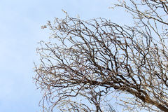 Безлистные ветви дерева против голубого неба Стоковые Изображения RF