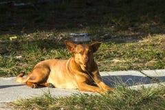Бездомная женская собака Стоковое Изображение