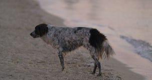Бездомная собака бродяжничая на взморье сток-видео