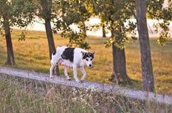 Бездомная собака в заходе солнца v2 Стоковые Изображения