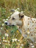 Бездомная собака в поле на предпосылке цветков и зеленой травы Стоковые Фотографии RF