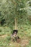 Бездомная собака в древесинах Стоковые Изображения RF