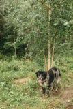 Бездомная собака в древесинах Стоковая Фотография RF