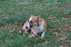 Бездомная собака лежа там остатки стоковое изображение