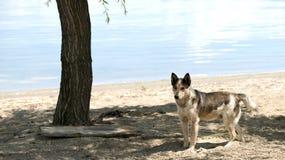 Бездомная собака на пляже Стоковая Фотография