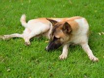 Бездомная собака на лужайке Стоковое Изображение