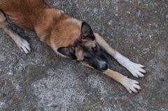 Бездомная собака отдыхая и смотря вверх стоковые изображения