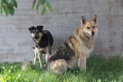 Бездомная собака 2 сидя на лужайке Стоковые Изображения RF