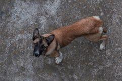 Бездомная собака смотря вверх стоковое фото rf