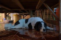Бездомная собака спит под деревянным столом Стоковое фото RF
