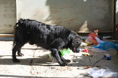 Бездомная собака для еды в отбросе Стоковое Фото