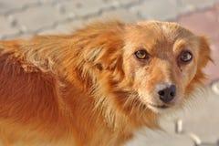Бездомное dog& x27; глаза s стоковое изображение rf