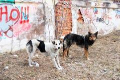 2 бездомной собаки на заднем плане стены с граффити Стоковые Изображения RF