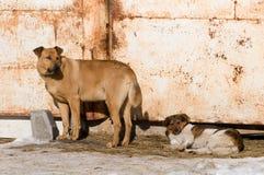 2 бездомной собаки около ржавого покрашенного строба Стоковые Изображения RF