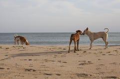 Бездомные собаки на пляже Стоковое Фото