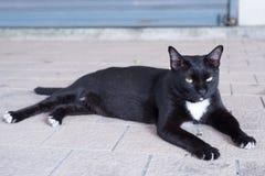 Бездомный кот бродяжничает вокруг улицы Она также беременная и голодать Стоковое Изображение