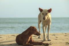 2 бездомных собаки на пляже Стоковая Фотография