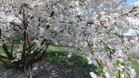 Беларусь Весна Вишня в белом флористическом платье сток-видео