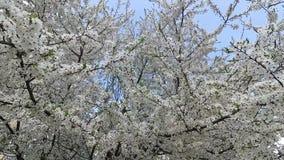 Беларусь Весна Вишня в белом флористическом платье видеоматериал