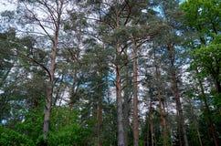 Беларусь Деревья в территории Belovezhskaya Pushcha 23-ье мая 2017 стоковая фотография rf