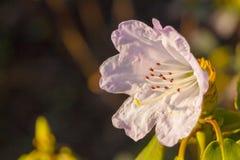 Белая азалия, рододендрон, конец-вверх цветка вечнозелёное растение, любящий Пенни завод Стоковые Фото