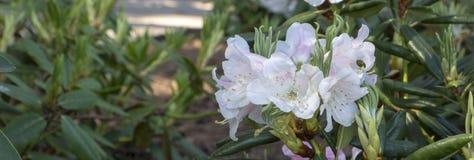 Белая азалия, рододендрон, конец-вверх цветка вечнозелёное растение, любящий Пенни завод Стоковые Изображения