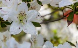 Белая азалия, рододендрон, конец-вверх цветка вечнозелёное растение, любящий Пенни завод Стоковое Изображение RF