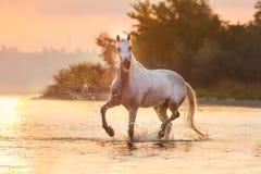 Белая андалузская лошадь в воде стоковое изображение