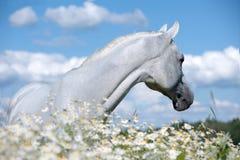 Белая аравийская лошадь в поле стоцвета стоковые фотографии rf