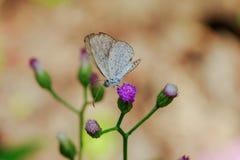 Белая бабочка на пурпурном цветке зацветает стоковые фото
