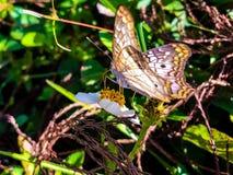 белая бабочка павлина в болотах Флориды Стоковое фото RF