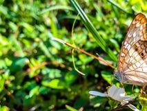 белая бабочка павлина в болотах Флориды Стоковое Изображение