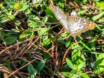 белая бабочка павлина в болотах Флориды Стоковая Фотография RF