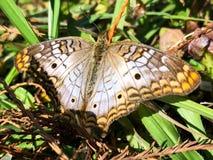 белая бабочка павлина в болотах Флориды Стоковые Изображения RF