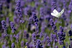 Белая бабочка порхает вокруг голов цветка на ферме цветка в Cotswolds, Snowshill Великобритании стоковые фотографии rf