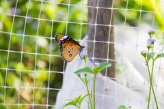 Белая бабочка сетки и апельсина Стоковые Фотографии RF