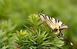 Белая бабочка сидит на зеленой ветви ели стоковое фото rf